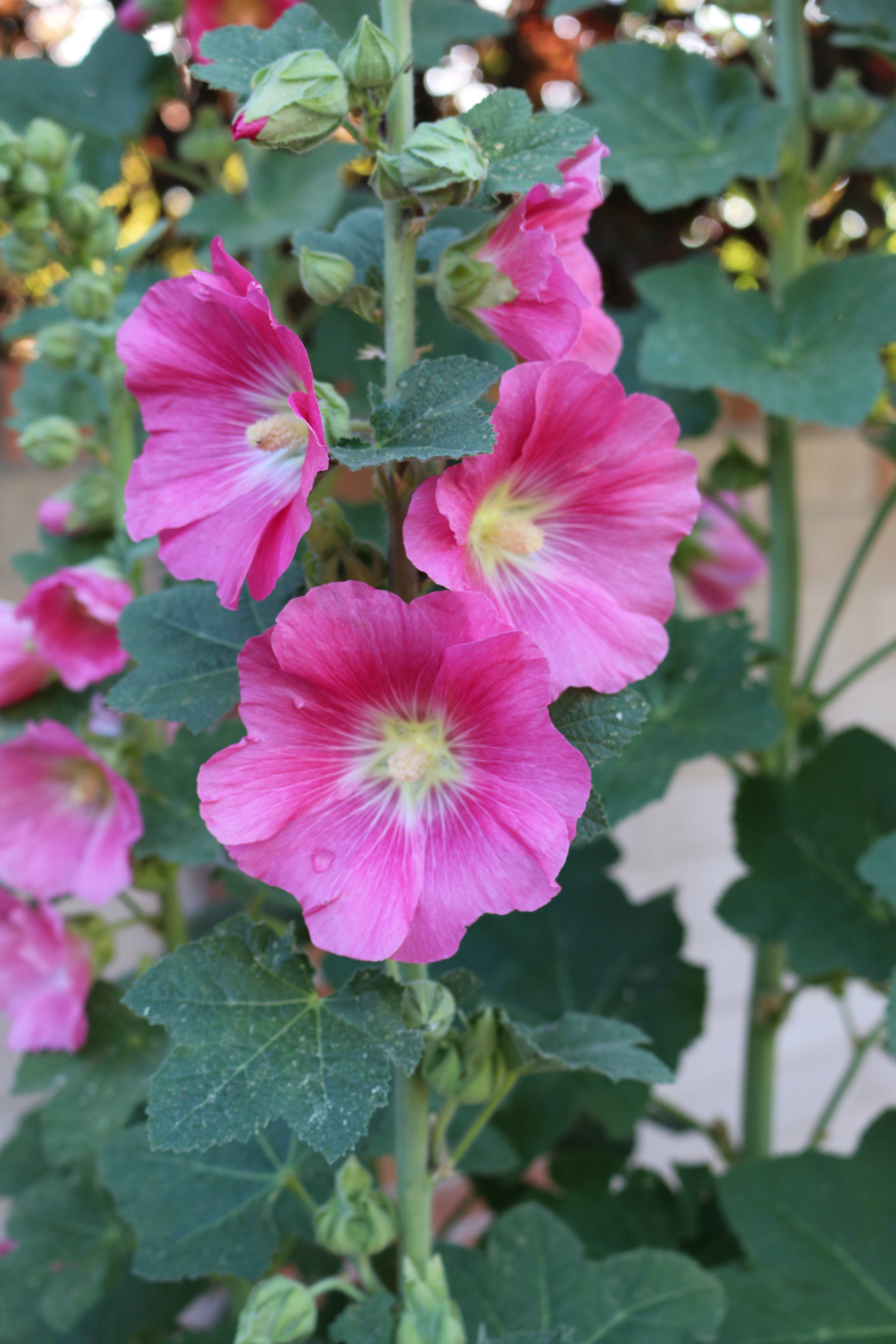 My hollyhocks have started blooming this week . . . they are just beautiful. They produce a huge amount of seeds and the birds love them. I now have plants growing everywhere in my gardens.
