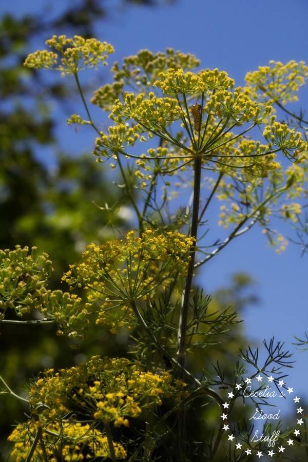 Dill the Herb Garden