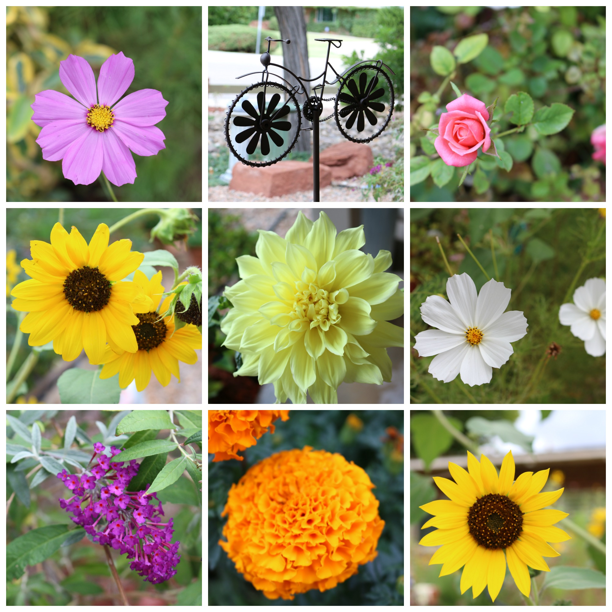 Fall flowers are blooming away in my garden. I love this time of year. It is great to be outdoors, the weather is perfect. It is in the low 80's for a high in Albuquerque, New Mexico. Absolutely perfect weather. I can ask for much more. Feeling blessed.