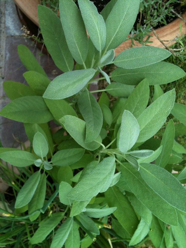 Sage-the garden-herb-health-benefits