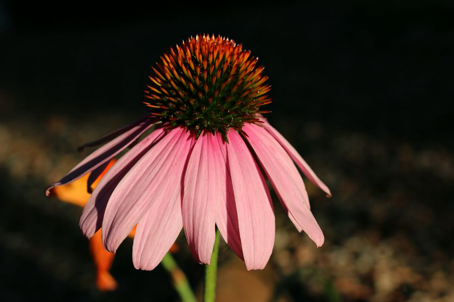 A single echinacea flower, popped up in one of my flower beds. The color is amazing!
