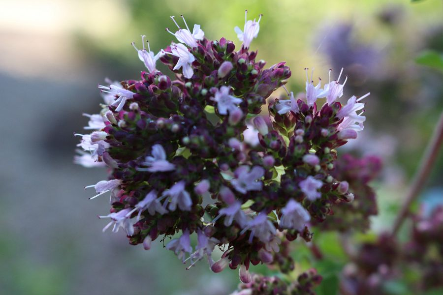 Greek Oregano blooming in my garden. It was very colorful, I thought it would be fun to share with you. The bees love it.