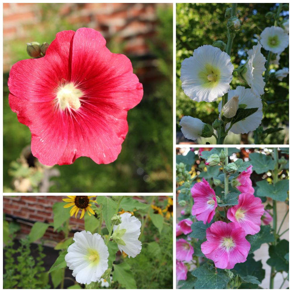 A hollyhock flower assortment from my flower gardens. The thing that is crazy is that they change color every year . . . it is a surprise to see what color they will be each year. The flowers produce tons and tons of seeds. The bees love these flowers. |Growing the Good Life with CeceliasGoodStuff.com