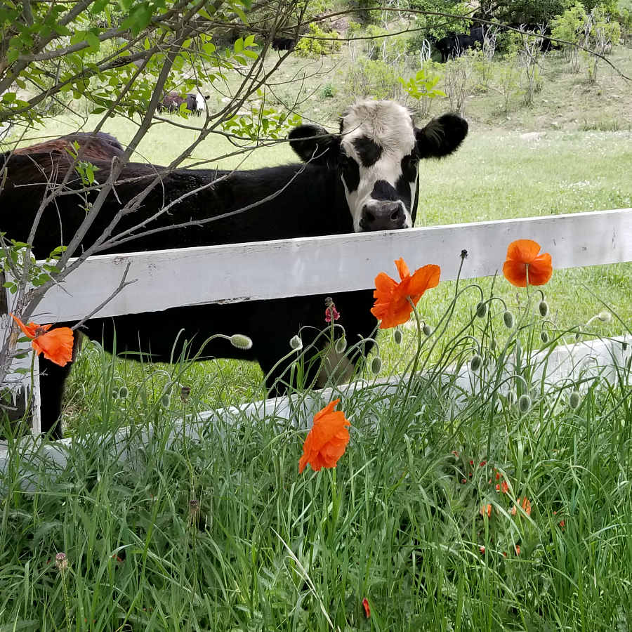 Cow with orange poppy flowers. In Yankee, New Mexico. Located east of Raton, New Mexico ( my hometown). CeceliasGoodStuff.com