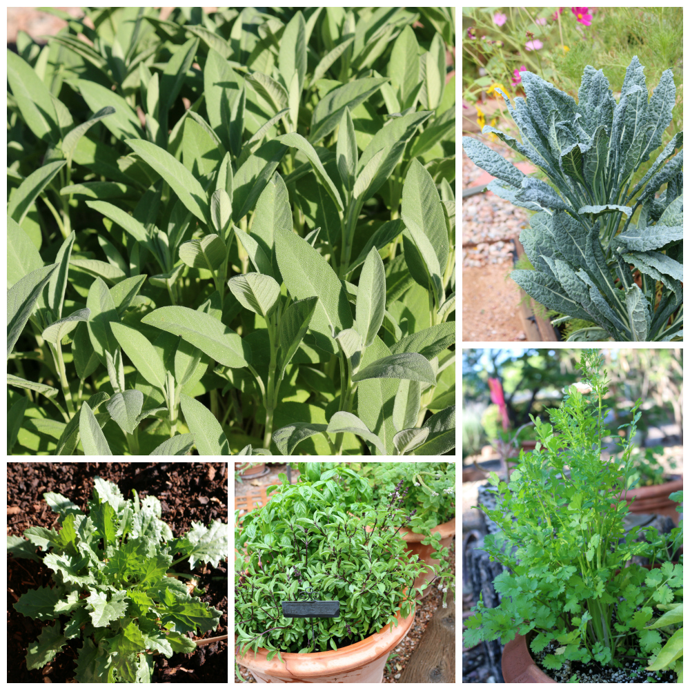 Here a few samplings from my garden. I grow about 40 different types of herbs most of which are in pots. The garden itself has tomatoes, kale, rhubarb, spinach, leeks, and an assortment of peppers. | Growing the Good Life with CeceliasGoodStuff.com |