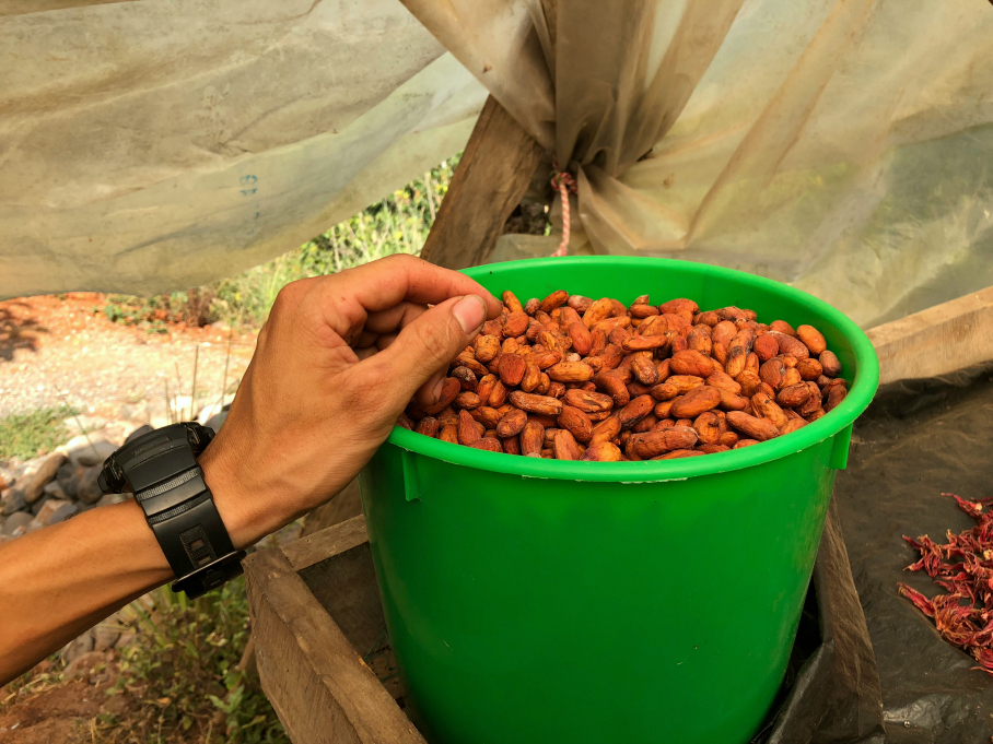 A fresh sun dried cocoa beans used to make the truffles, hot fudge, chocolates and cocoa. La Iguana Chocolate, Costa Rica