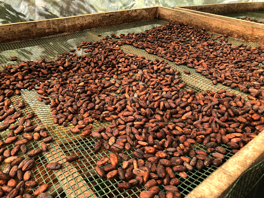 After the ten day fermentation the beans are sun dried. La Iguana Chocolate Costa Rica
