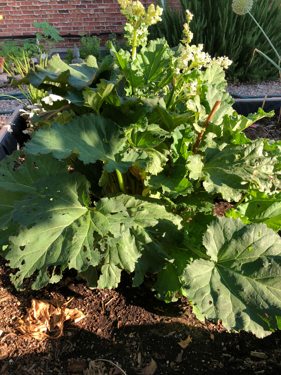 Rhubarb plant growing in my garden CeceliasGoodStuff.com New Mexico